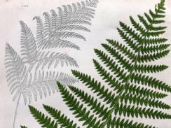 12th April 2019. Anne Pratt Fern Prints